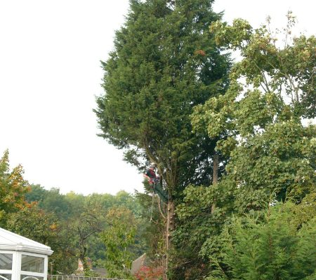 conifer-tree-removal-1