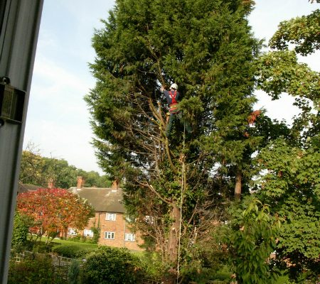 conifer-tree-removal-2