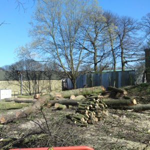 oak-tree-felling-3