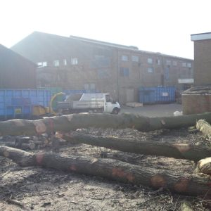 oak-tree-felling-4