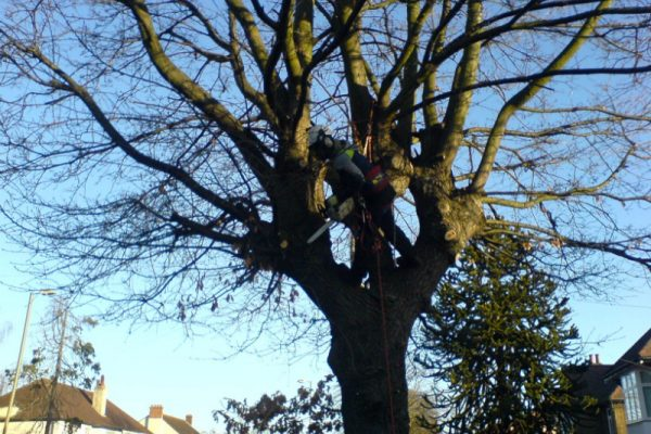 oak-tree-removal-1