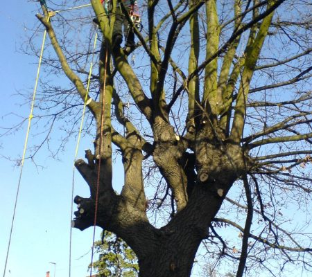 oak-tree-removal-2