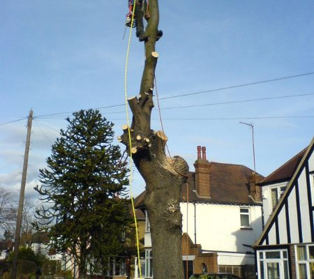 oak-tree-removal-6