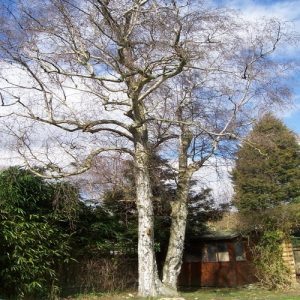tree-pruning-silver-birch-1