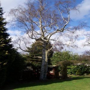 tree-pruning-silver-birch-2