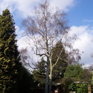 tree-pruning-silver-birch-4